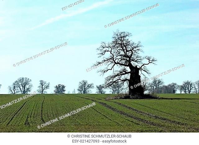 Uralte Huteeiche bei Beberbeck im Reinhardswald