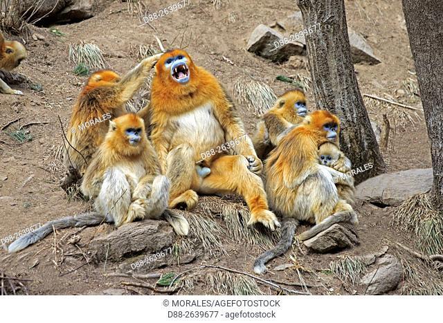 Asia, China, Shaanxi province, Qinling Mountains, Golden Snub-nosed Monkey (Rhinopithecus roxellana), on the ground