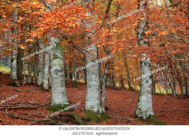 Beech in autumn in the port of Laza. Roncal valley. Navarra