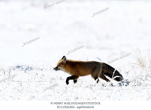 Red Fox Vulpes vulpes in winter, Northern USA