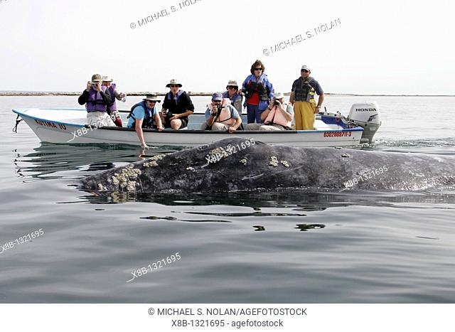 California Gray Whale Eschrichtius robustus surfacing near whale watchers in San Ignacio lagoon along the Pacific side of the Baja Peninsula  Pacific Ocean