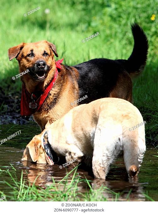 Ein Labrador und ein Schaeferhund spielen in einer Matschpfuetze auf einer Wiese, 2014