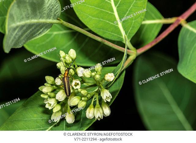 Sumac Stem Borer Oberea ocellata Feeding on Indian Hemp Apocynum cannabinum
