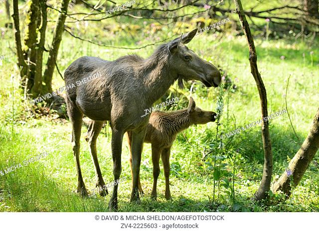 Eurasian elk (Alces alces) mother with her youngster in a forest in early summer