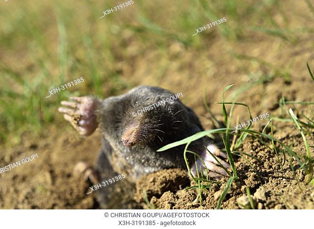 Taupe d'Europe (Talpa europaea), region Centre-Val-de-Loire, France, Europe/European mole (Talpa europaea) ,Centre-Val-de-Loire region, France, Europe