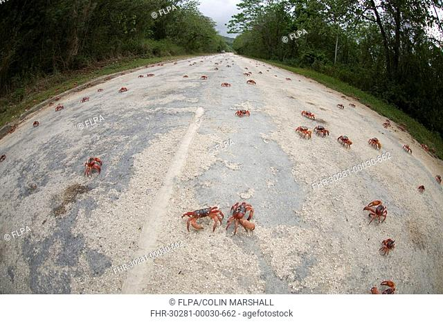 Christmas Island Red Crab Gecarcoidea natalis adults, mass on road during annual migration, Christmas Island, Australia