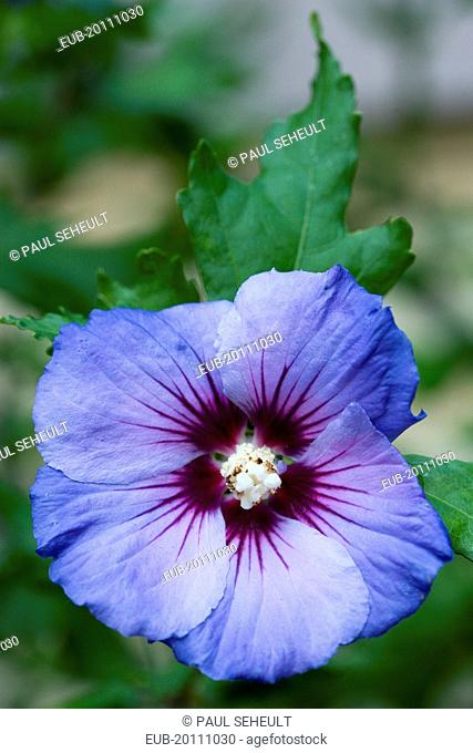 Rose mallow Hibiscus syriacus Blue Bird single purple blue flower growing on a shrub