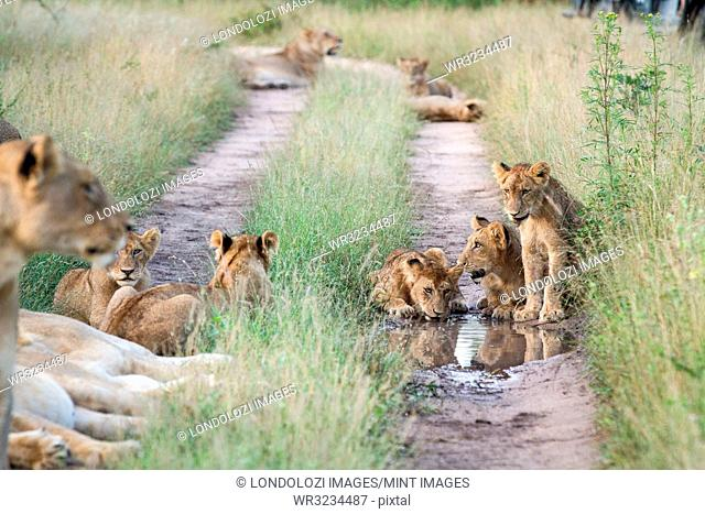 A pride of lions, Panthera leo, sit in the tracks of a road, drinking water, surrounded by green grass