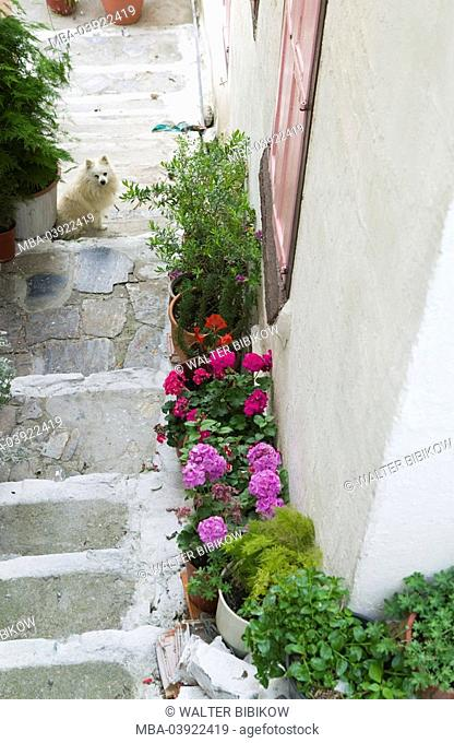 Greece, island samos, Samos-city, Old Town, stairway, flowers, dog, Europe, Mediterranean-island, destination, island-capital, steps, planters, plants