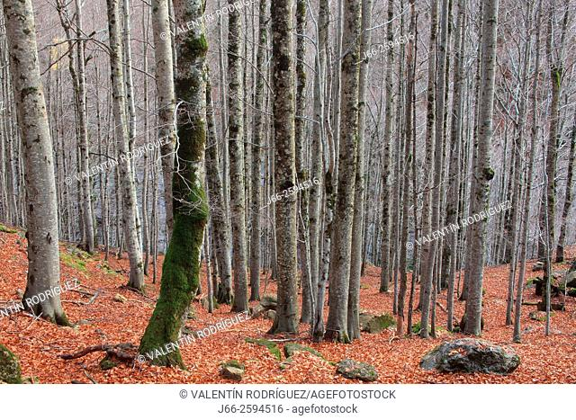 Beech forest in the valley of Ordesa. Ordesa National Park. Huesca