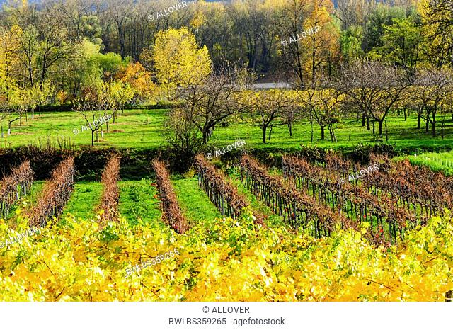 vineyards and meadow orchard in Wachau in autumn, Austria, Lower Austria, Wachau, Weissenkirchen
