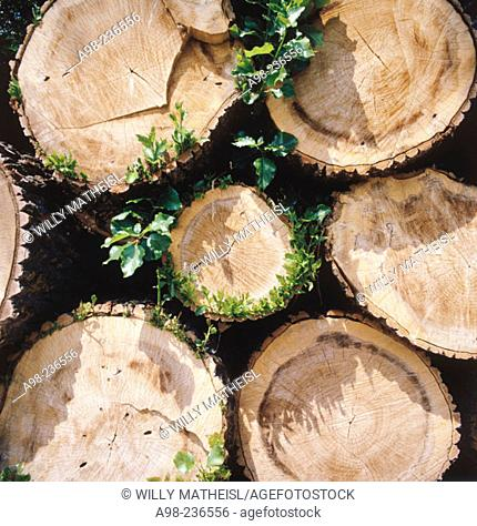 White poplar logs
