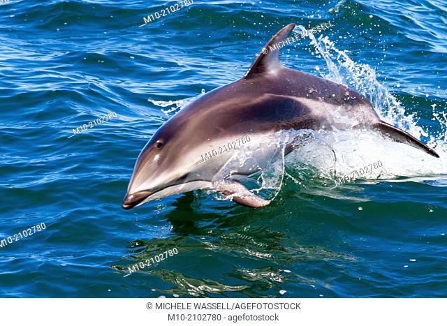 Pacific White Sided Dolphins in the Monterey Bay, Monterey, CA, USA