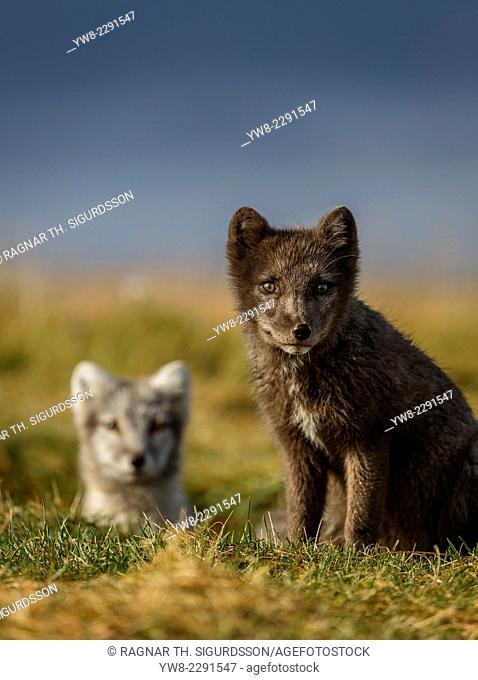 Portrait of Arctic Fox, Alopex lagopus, Iceland