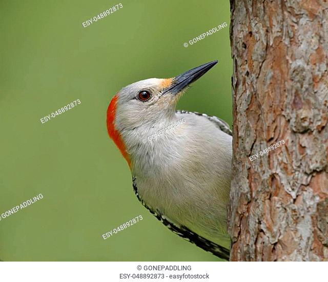 Female Red-bellied Woodpecker (Melanerpes carolinus) on a red pine tree
