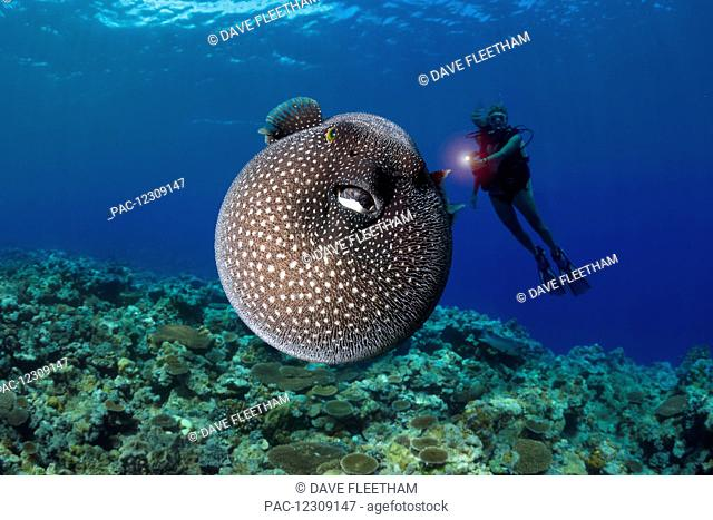 A diver gets a look at a Guineafowl pufferfish (Arothron meleagris); Yap, Micronesia