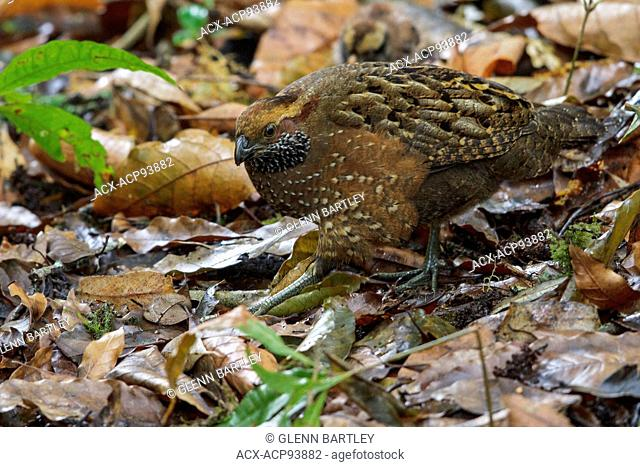 Spotted Wood Quail (Odontophorus guttatus) feeding on the ground in Costa Rica