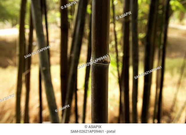 bamboo shoot in foreground focused and multiple others in background