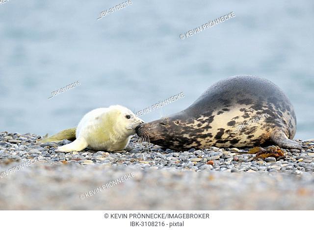 Grey Seal (Halichoerus grypus) female with pup, on the beach, Düne island, Helgoland, Schleswig-Holstein, Germany