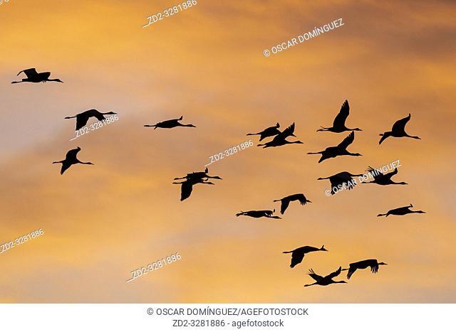 Common Crane (Grus grus) flying in to land at sunset in golden light. Gallocanta lagoon. Zaragoza province. Aragon. Spain