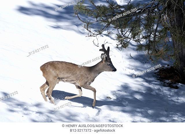 Roe deer running in the snow (Capreolus capreolus), France