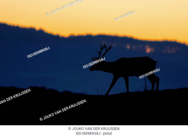 Silhouetted tule elk buck (Cervus canadensis nannodes) at sunset, Point Reyes National Seashore, California, USA