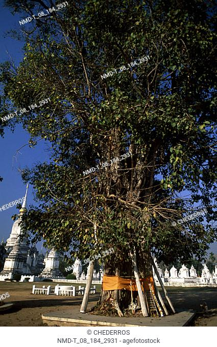 Tree in front of a temple, Thailand
