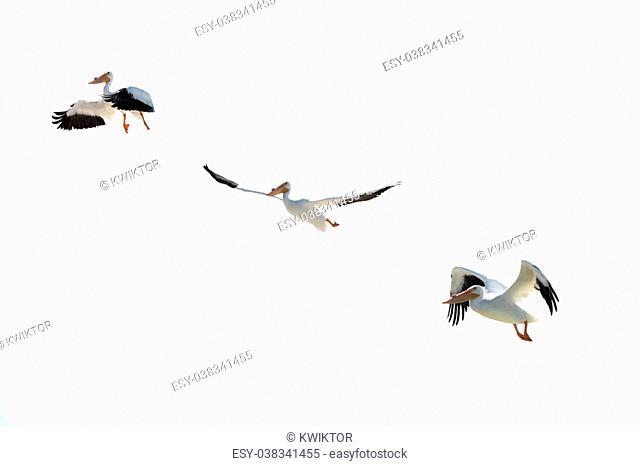 Pelican Bird over white background tripple shot