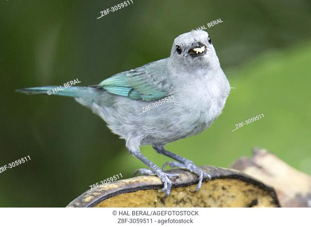 Blue-Gray Tanager eating (Thraupis episcopus). Ecuador
