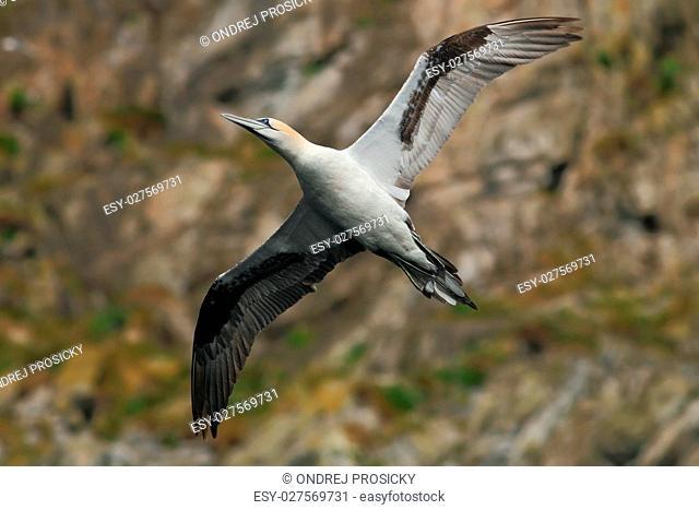 Bird on the cliff. Flying sea bird, Northern gannet