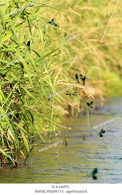 banded blackwings, banded agrion, banded demoiselle Calopteryx splendens, Agrion splendens, many males waiting on females, Germany, Bavaria, Isental