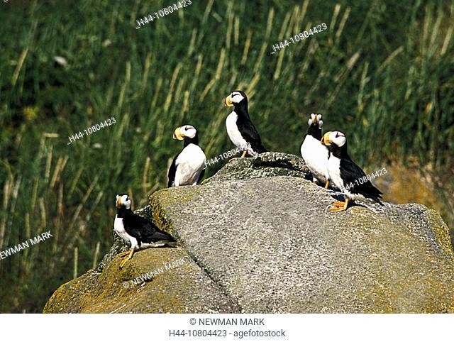 Alaska, animal, animals, bird, birds, Fratercula corniculata, Horned Puffin, rocks, several, USA, America, United St