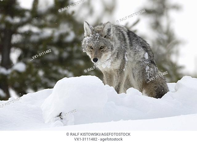 Coyote / Kojote ( Canis latrans ) in winter, deep snow, sitting, standing up, with claggy snow and ice in its fur, looks funny, Yellowstone NP, Wyoming, USA
