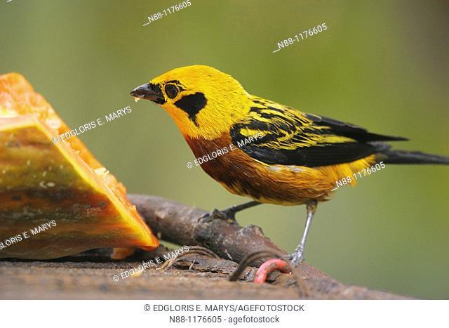 Golden Tanager, Tangara dorada, Tangara arthus arthus, Biological Station of Rancho Grande, Henri Pittier National Park, Aragua, Venezuela