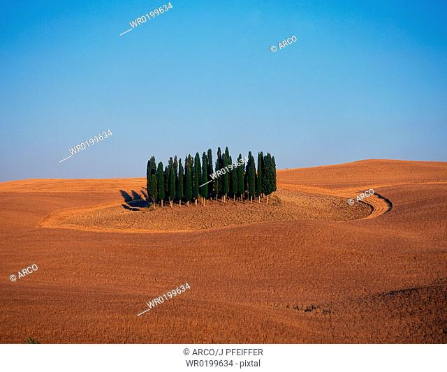 Group, of, Cypresses, in, field, Tuscany, Italy