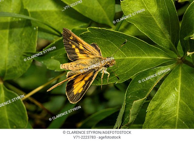 Broad-winged Skipper Butterfly (Poanes viator) Male on Virginia Creeper (Parthenocissus quinquefolia) Leaf
