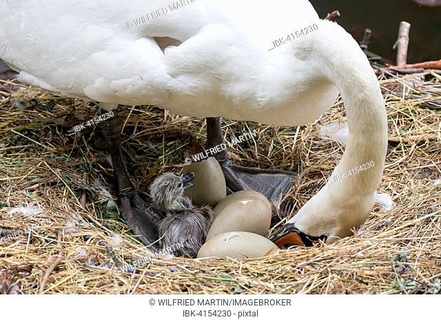 Mute Swan (Cygnus olor) with chicks and eggs in the nest, Hesse, Germany