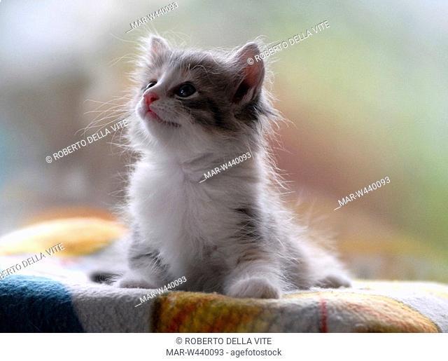 turkish angora, kitten