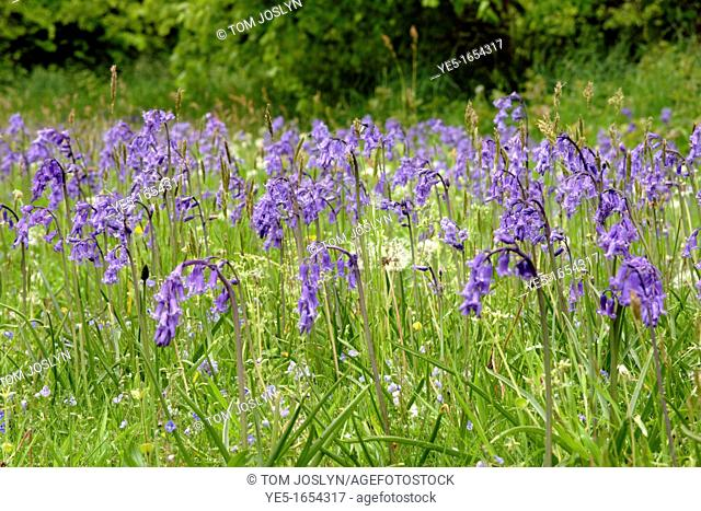 Bluebell flowers Endymion nonscriptus in field, Cornwall, England, UK