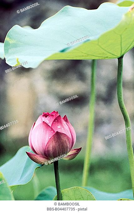 Close-up of a blooming pink lotus, Tea Stall Park, Fuzhou City, Fujian Province of People's Republic of China