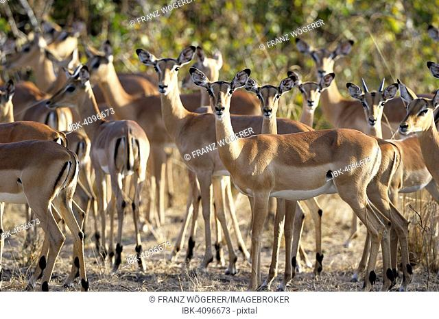 Impalas (Aepyceros melampus) herd, females with young, South Luangwa National Park, Zambia