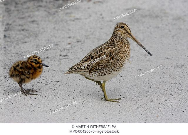 South American Snipe (Gallinago paraguaiae) with chick, Falkland Islands