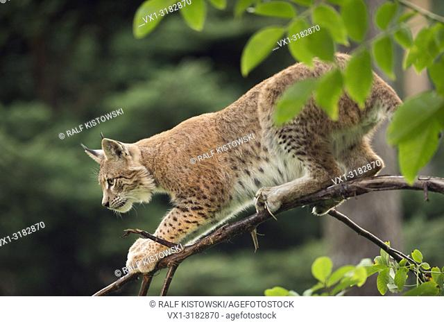 Eurasian Lynx ( Lynx lynx ), young animal, hunting, sitting on an impressive thin branch of a bush, high concentrated