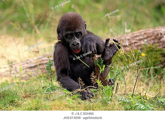 Lowland Gorilla,Gorilla gorilla, Africa, young feeding