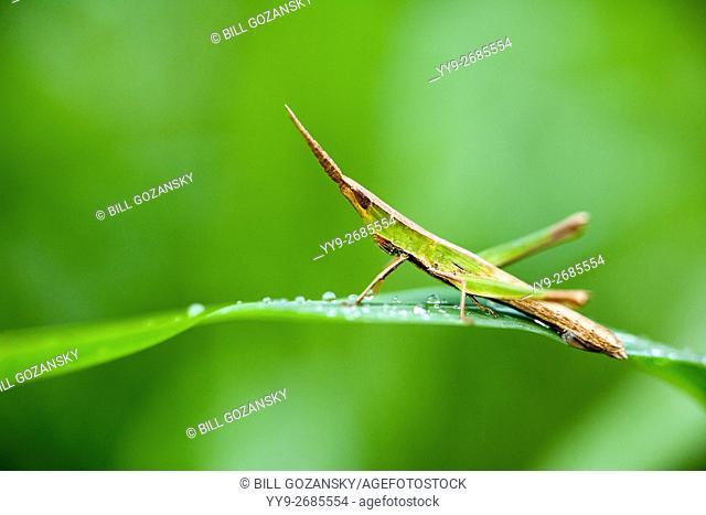 Slant Faced Grasshopper Species - Camp Lula Sams, Brownsville, Texas, USA