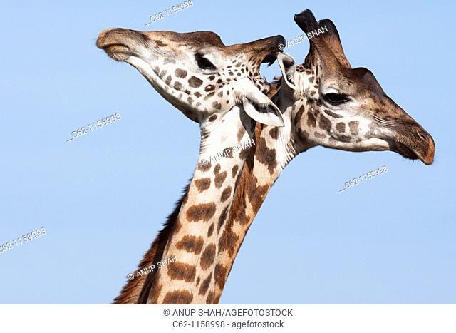Maasai Giraffe (Giraffa camelopardalis tippelskirchi) group head portrait, Maasai Mara National Reserve, Kenya