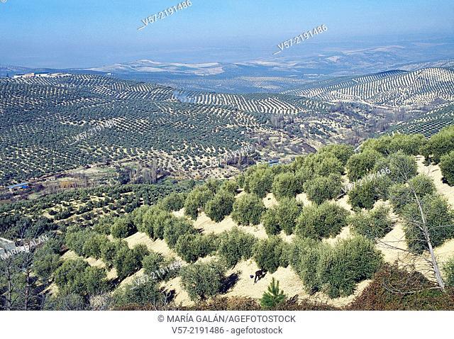 Olive groves. Jaen, Andalucia, Spain