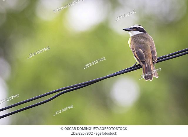 Great Kiskadee (Pitangus sulphuratus) perched on wire. Caño Negro Wildlife Refuge. Alajuela province. Costa Rica