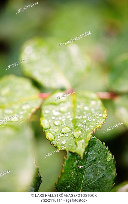 Close up of wet green leaves with droplets of water