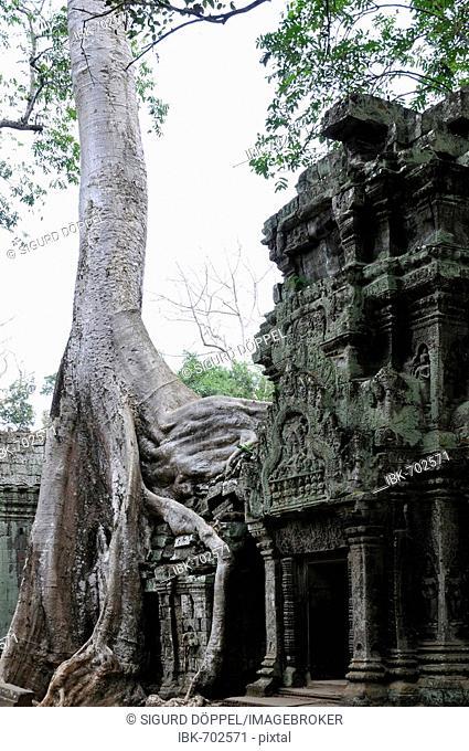 Jungle overgrowing Ta Trohm Temple, Bayon Temple, Angkor Thom, Cambodia, Southeast Asia